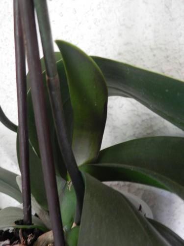 Evolution de phalaenopsis Dscn4714