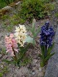 euréka,mes jacinthes fleurissent Jacynt10