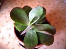kalanchoé à identifier : Kalanchoe thyrsiflora Plante10