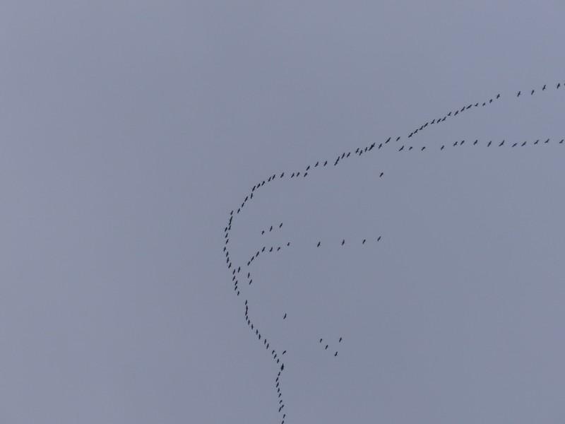 Vol de grues cendrées le 13 Novembre 2013 des dizaines de milliers ! Copie_47