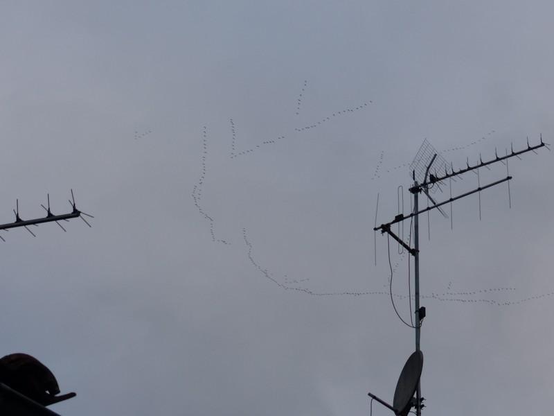 Vol de grues cendrées le 13 Novembre 2013 des dizaines de milliers ! Copie_51