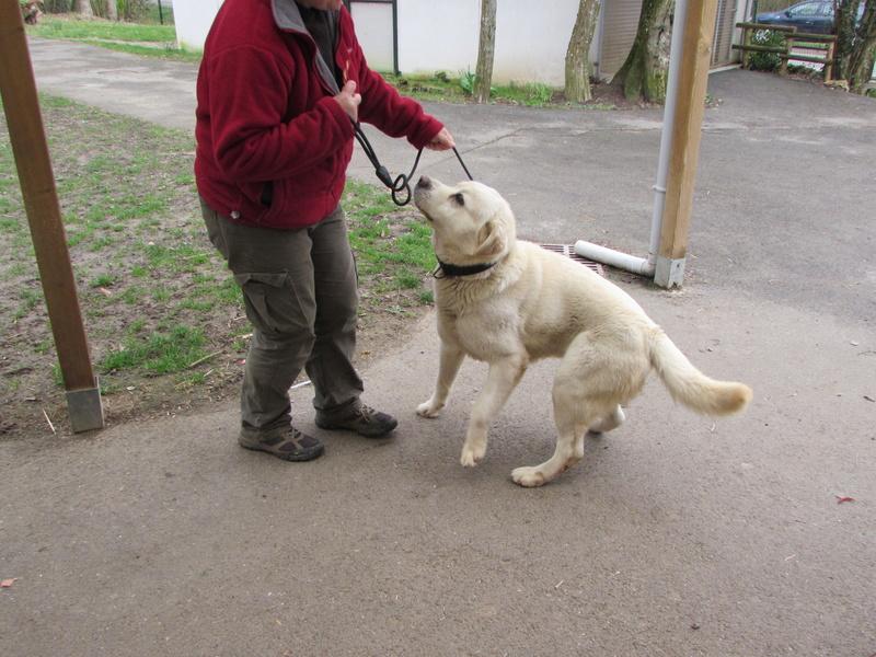 SAM labrador blanc. 01220