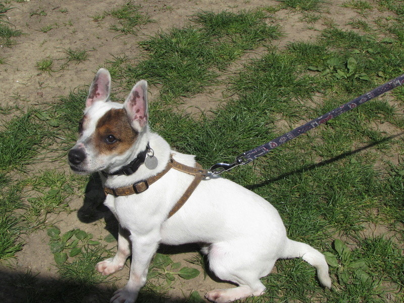 LOULOU, X Jack Russel 01524