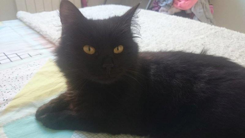 Trouvée chatte noire à Leguevin Female10