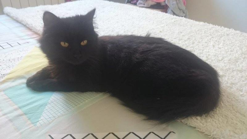 Trouvée chatte noire à Leguevin Female11