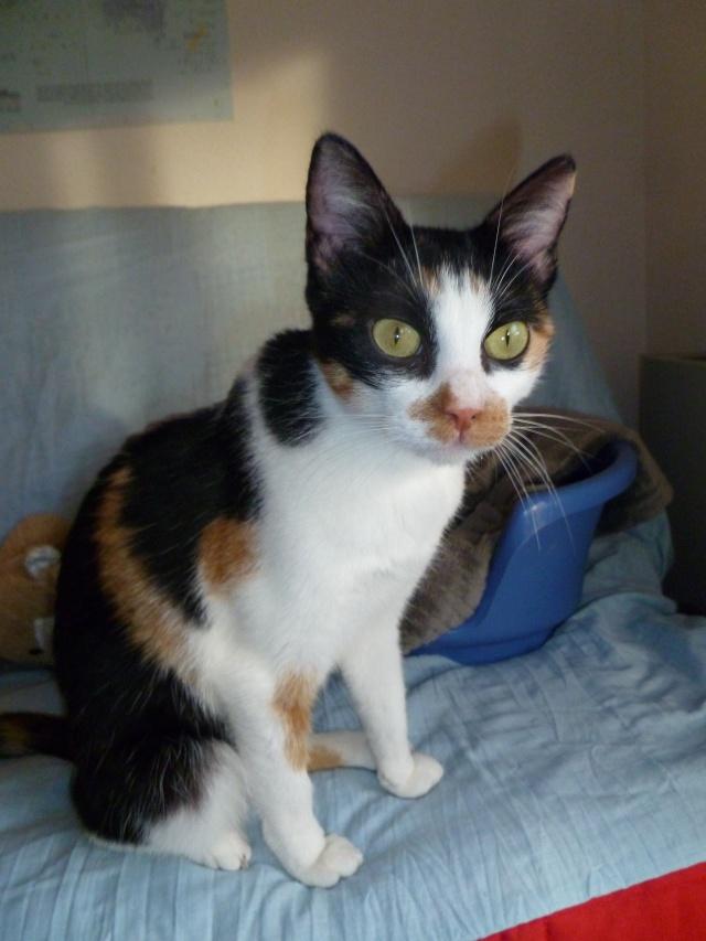 Trouvée chatte tricolore à Colomiers P1000914