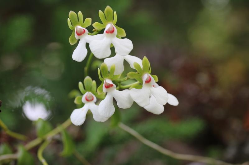 Oeonia rosea Img_1119