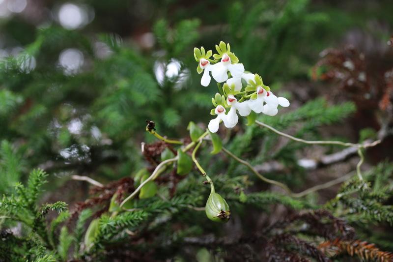 Oeonia rosea Img_1120