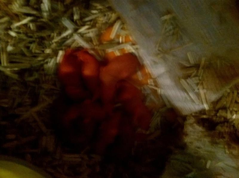 Reste 2 femelles agouti, et une femelle havane hooded dark rubis  15574210