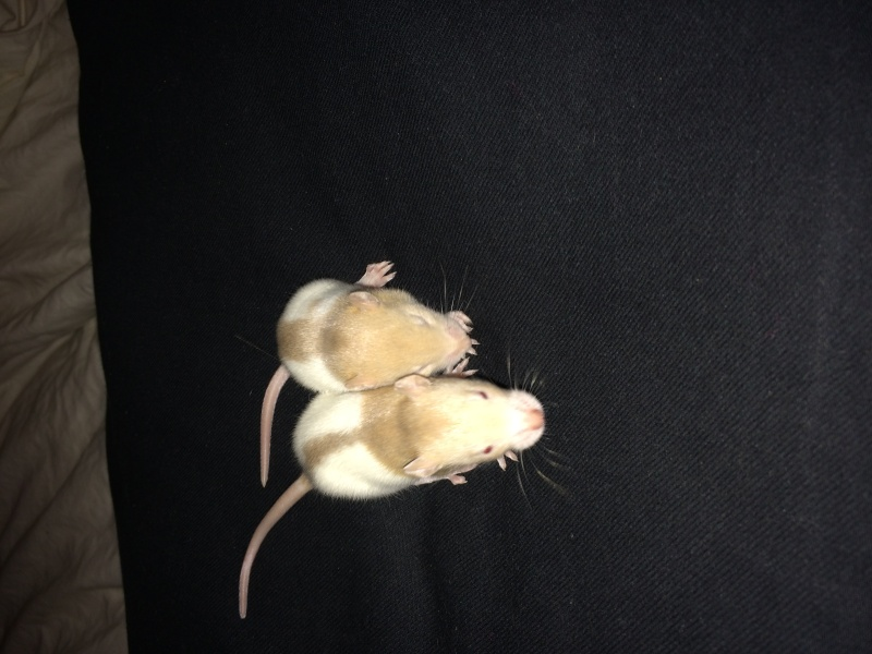 Reste 2 femelles agouti, et une femelle havane hooded dark rubis  - Page 2 Img_5815