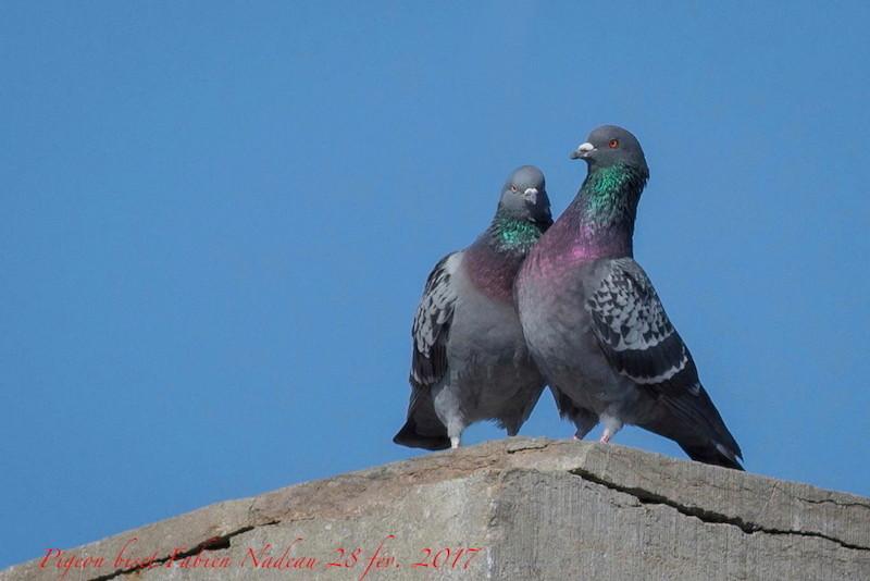 Pigeon biset _mg_0210