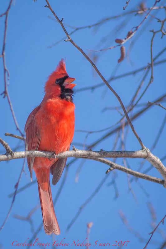 Cardinal rouge _mg_0410
