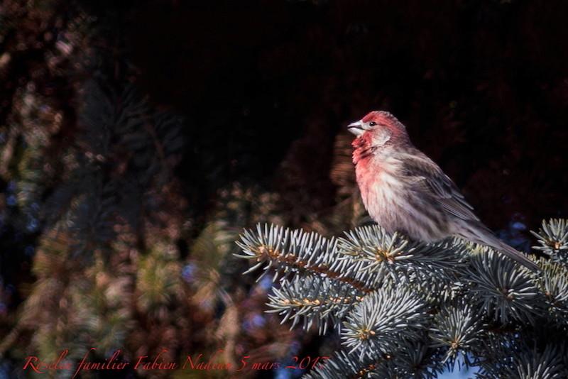 Cardinal rouge _mg_0411