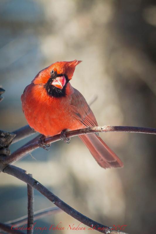 Cardinal rouge _mg_1410