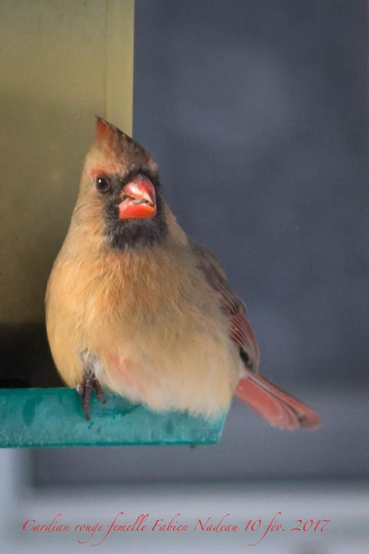 Cardinal rouge _mg_9310