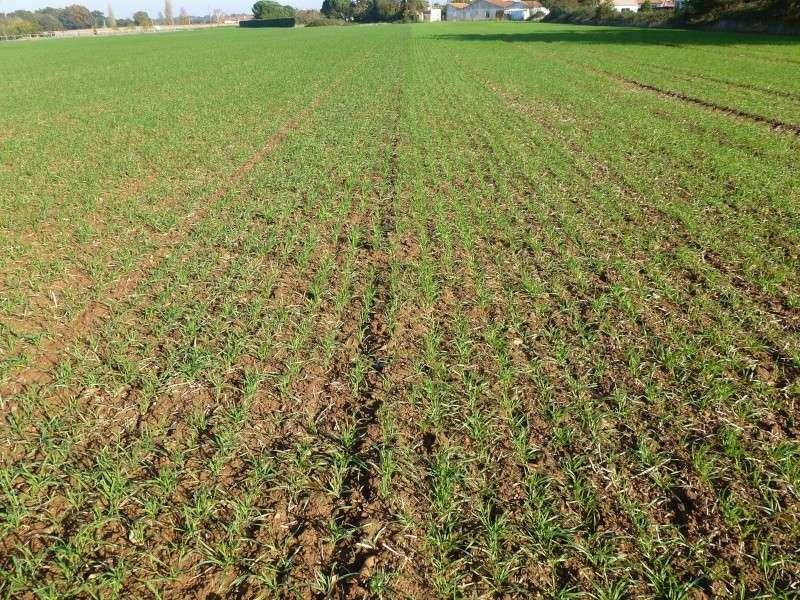 semis de blé 2013-2014 - Page 11 P1010525