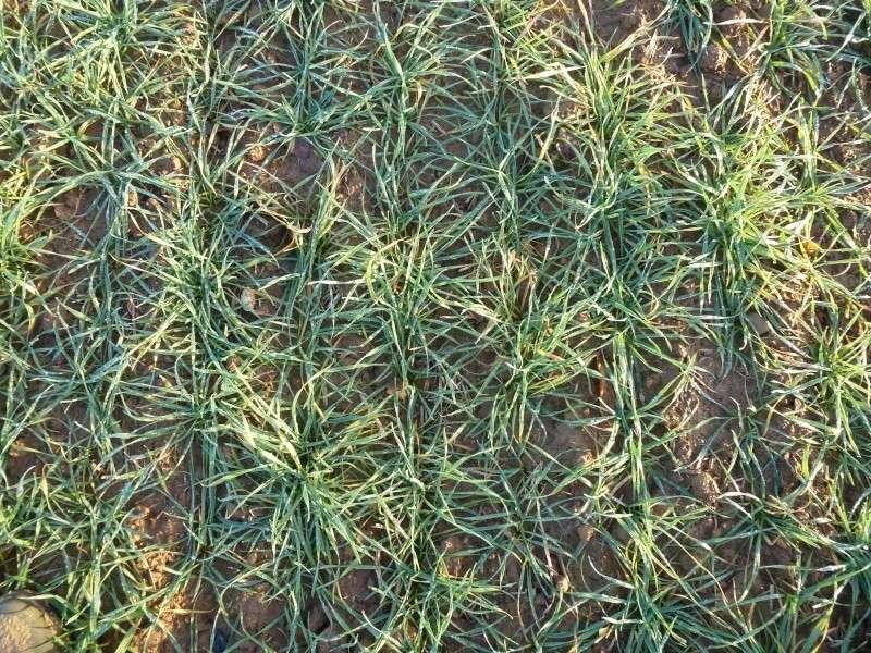 semis de blé 2013-2014 - Page 18 P1010537