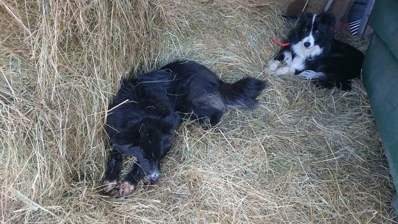 MATATA - chiot femelle - née en février 2016 (REMEMBER ME LAND). Adoptée par Evelyne (départ 88)-DCD - Page 4 Img_2517