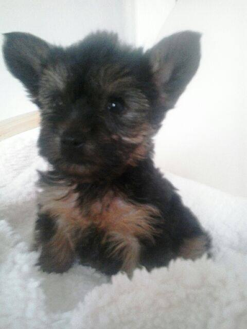 nuggets chiot male type york né le 16 mars 2017 18386710
