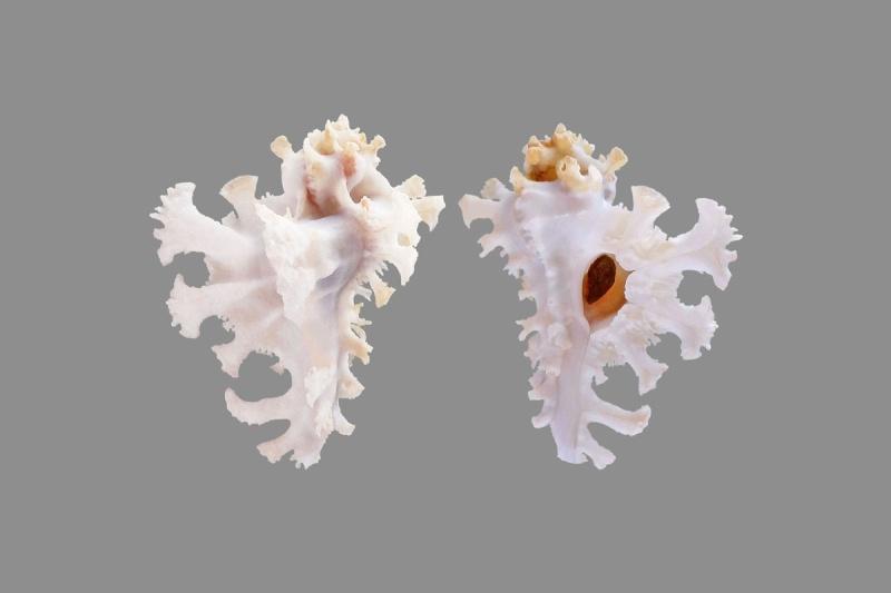 Homalocantha anatomica - (Perry, 1811) Aaab10