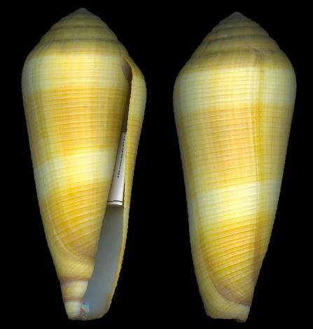 Leporiconus tenuistriatus Sowerby II, 1858 Conus_10