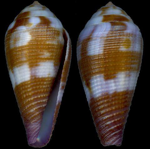 Leporiconus tenuistriatus Sowerby II, 1858 Conus_12