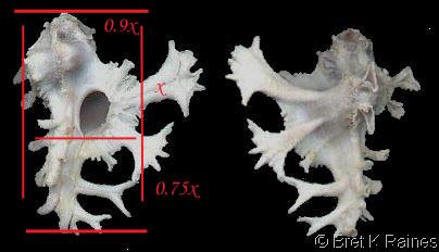 Homalocantha anatomica - (Perry, 1811) Homalo12