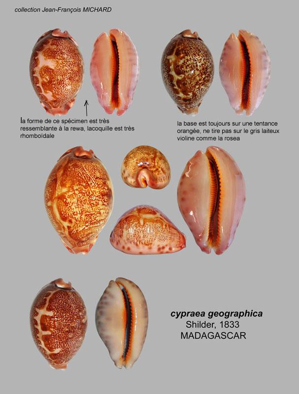 Identifications Cypraea mappa. Planch11