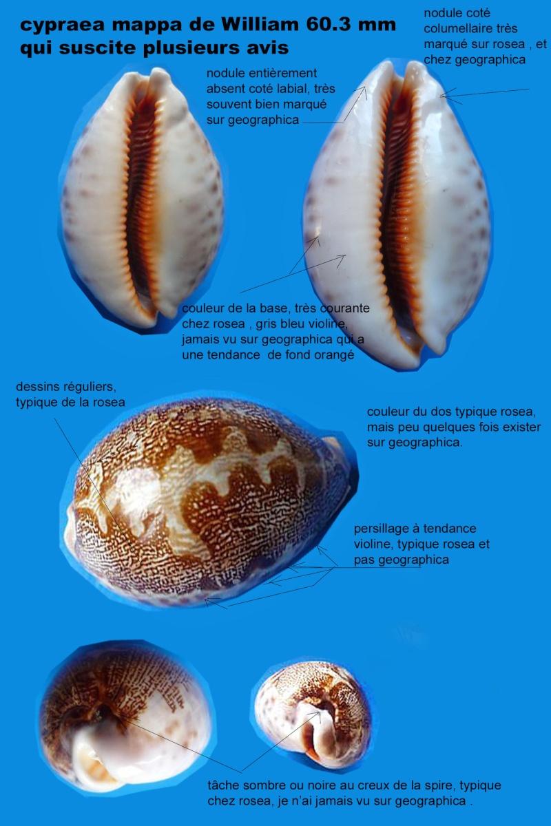 Identifications Cypraea mappa. Planch12