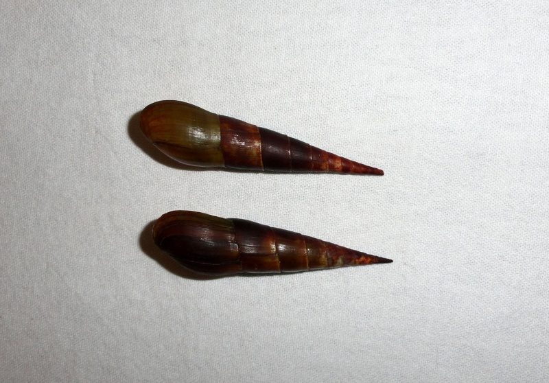 Melanoides plicaria - (Born, 1778) & Faunus ater - Linnaeus, 1758 Terres11