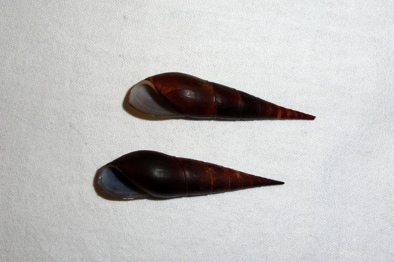 Melanoides plicaria - (Born, 1778) & Faunus ater - Linnaeus, 1758 Terres12