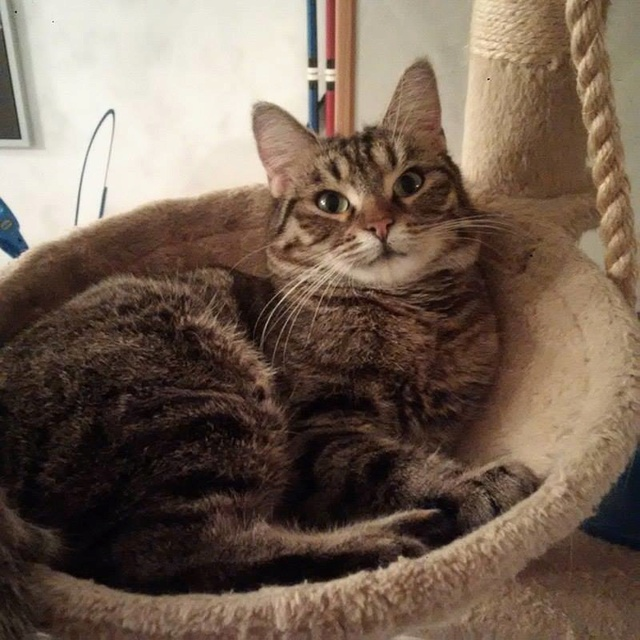 XENA - Tabby - Née le 01/05/2015 - En FA dans le 60 Xyna110