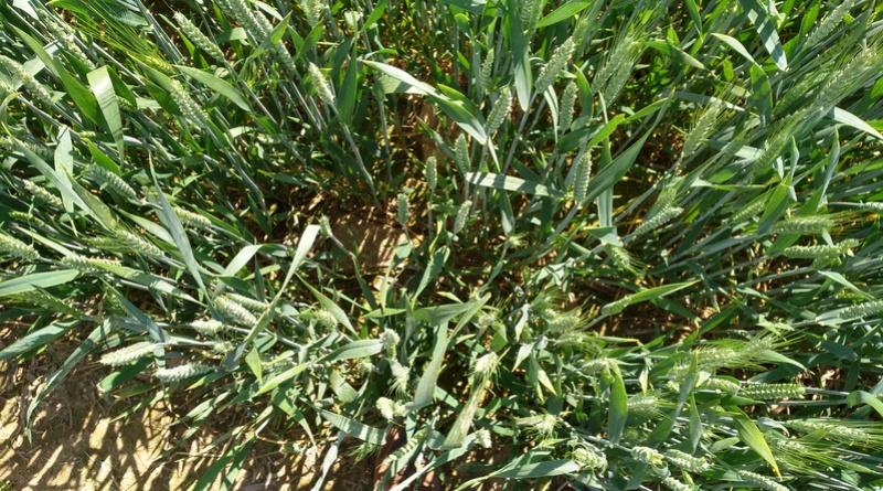 suivi des blés tendre 2017 - Page 3 Img_2011