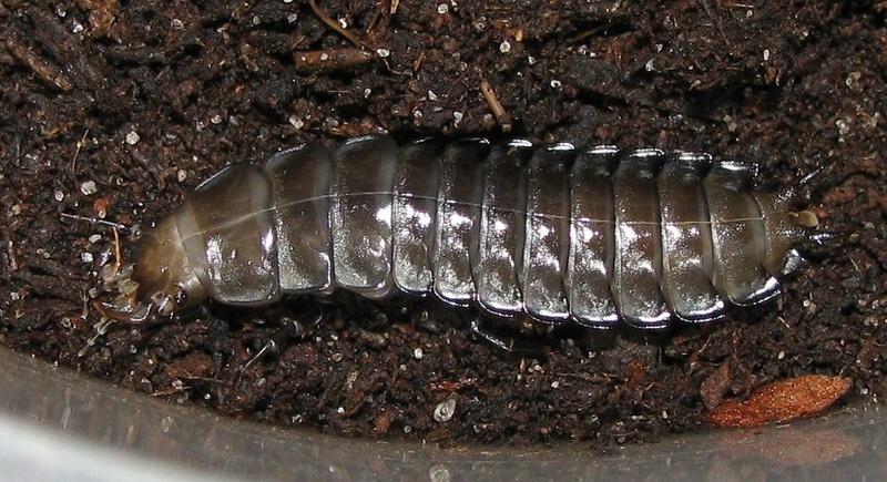 Mue larvaire de rutilans 310