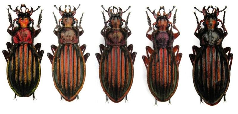 Suivi d'élevage Ch. auronitens f. i. auverloti (noviprati) Gamme_10