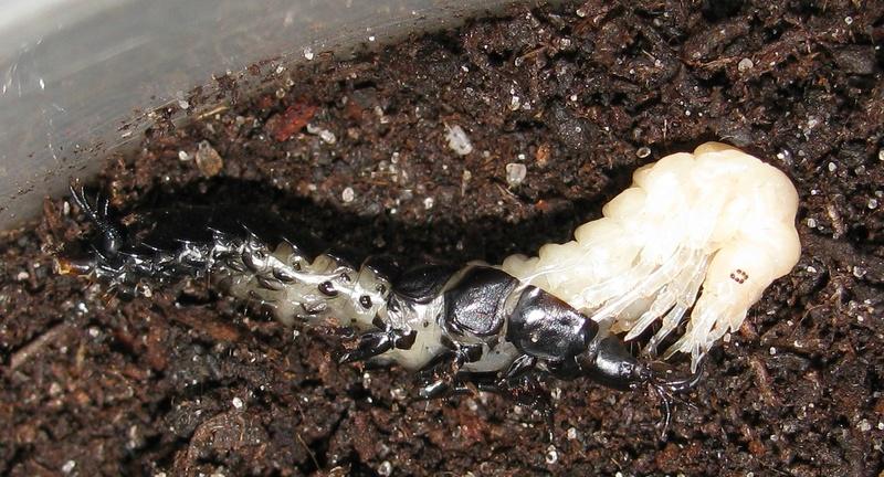 Mue larvaire de rutilans Img_0116