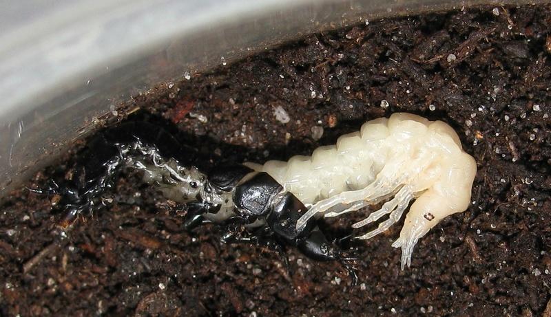 Mue larvaire de rutilans Img_0117