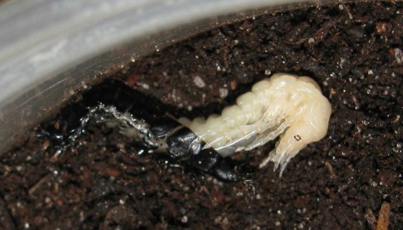 Mue larvaire de rutilans Img_0121