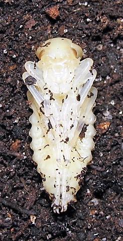 Suivi d'élevage Ch. auronitens f. i. auverloti (noviprati) Img_0411