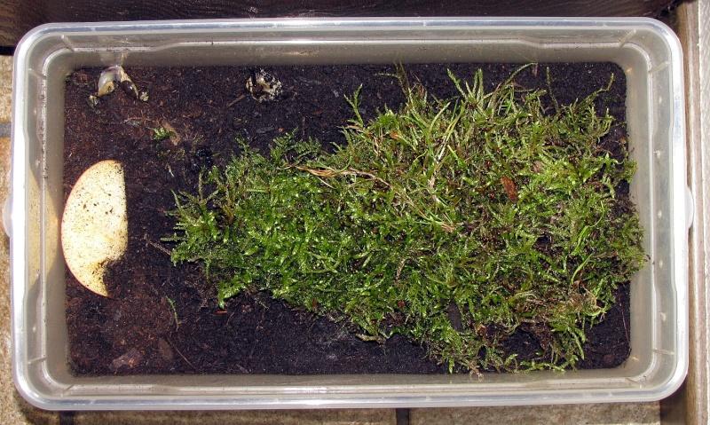 Suivi d'élevage. Larves L2 de Ch. hispanus FABRICIUS 1787 Nn1410