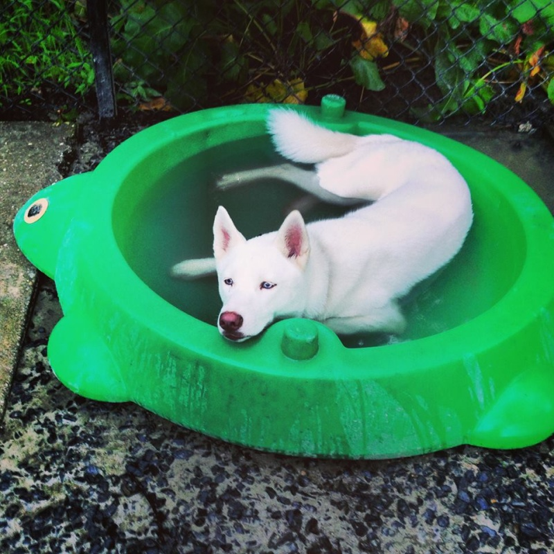 All white huskies, then and now pics please! 10130810