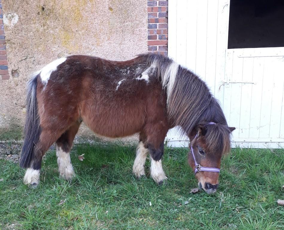 (Dépt 28) PONPON poney shetland né en 2002 Thumbn17