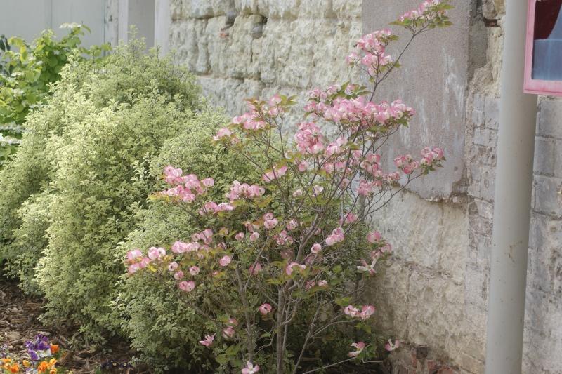 Arbuste à fleurs roses Dsc04416