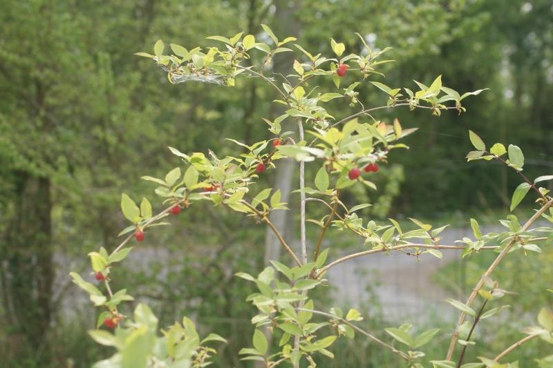 Lonicera fragrantissima,du parfum en hiver Dsc04518