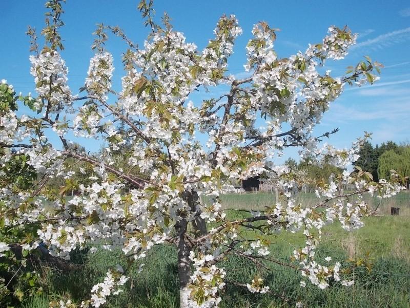 le cerisier en fleurs Dscn0710