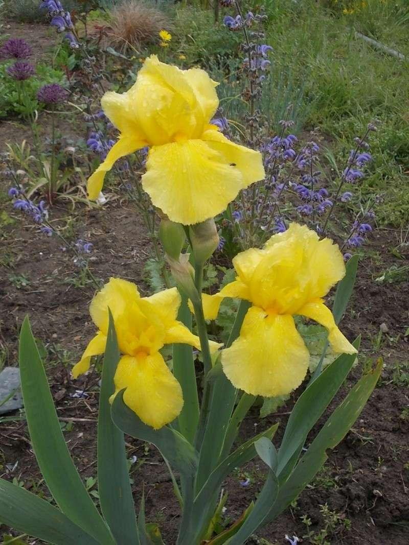 Iris : floraison 2014 - Page 3 Dscn0915