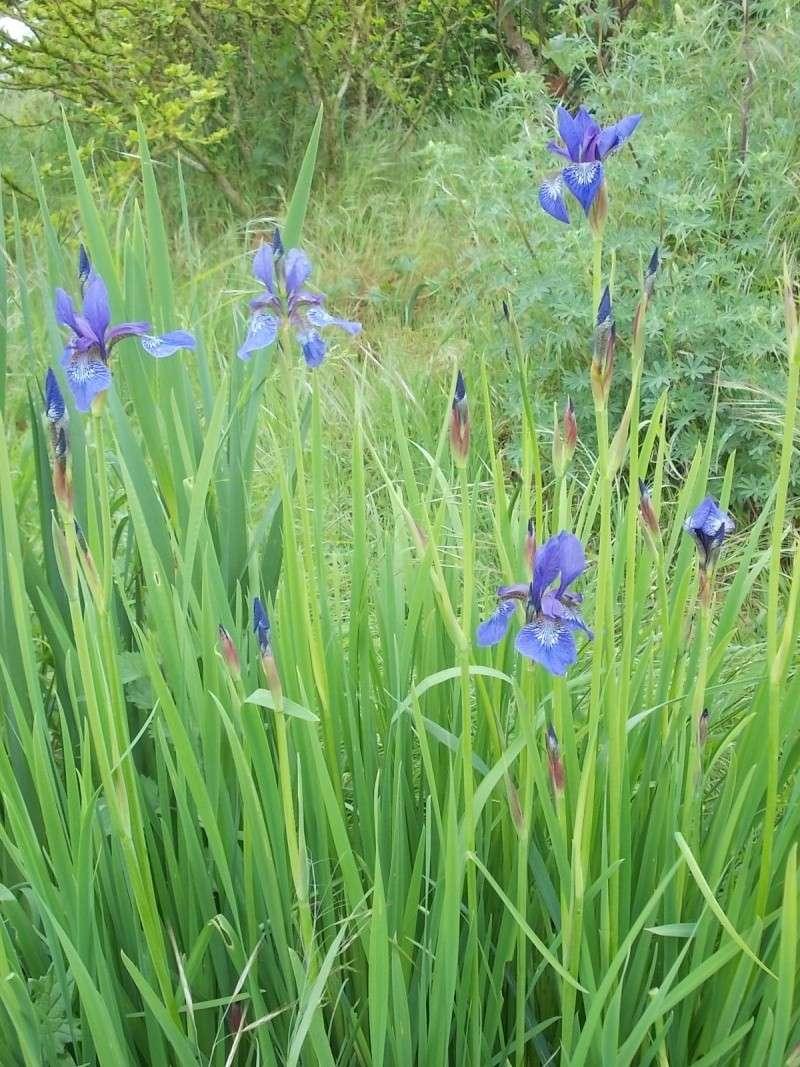 Iris : floraison 2014 - Page 4 Dscn0919