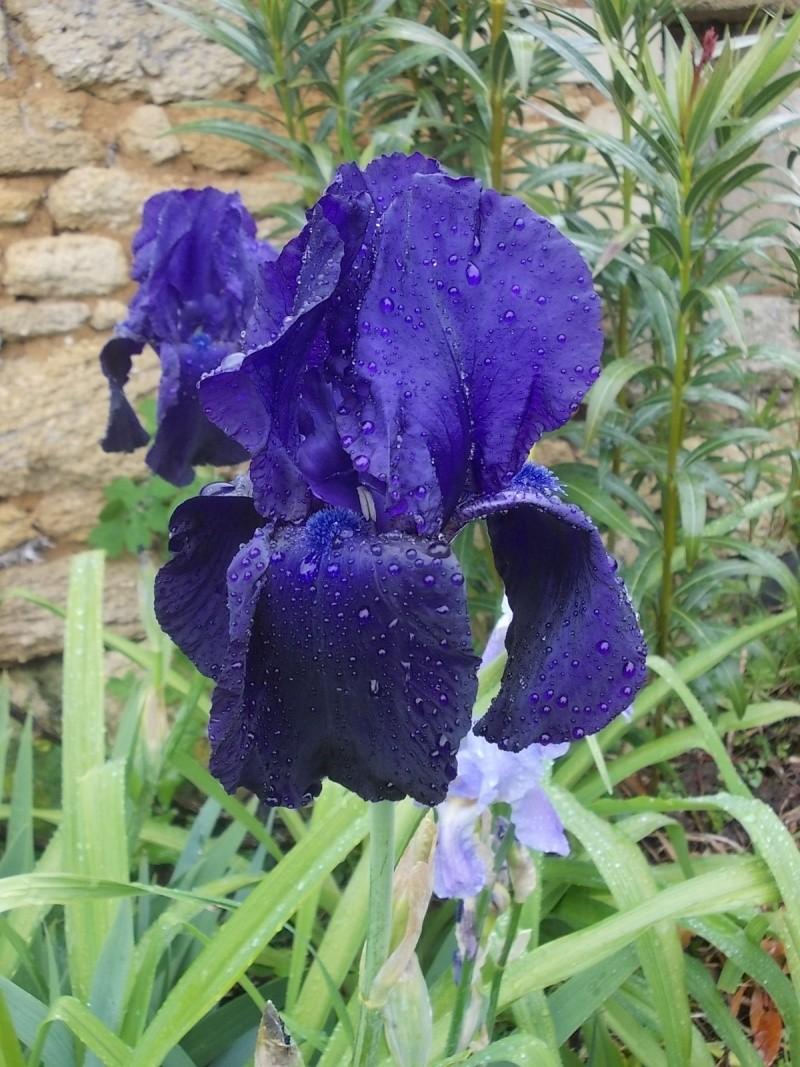 Iris : floraison 2014 - Page 5 Dscn0926
