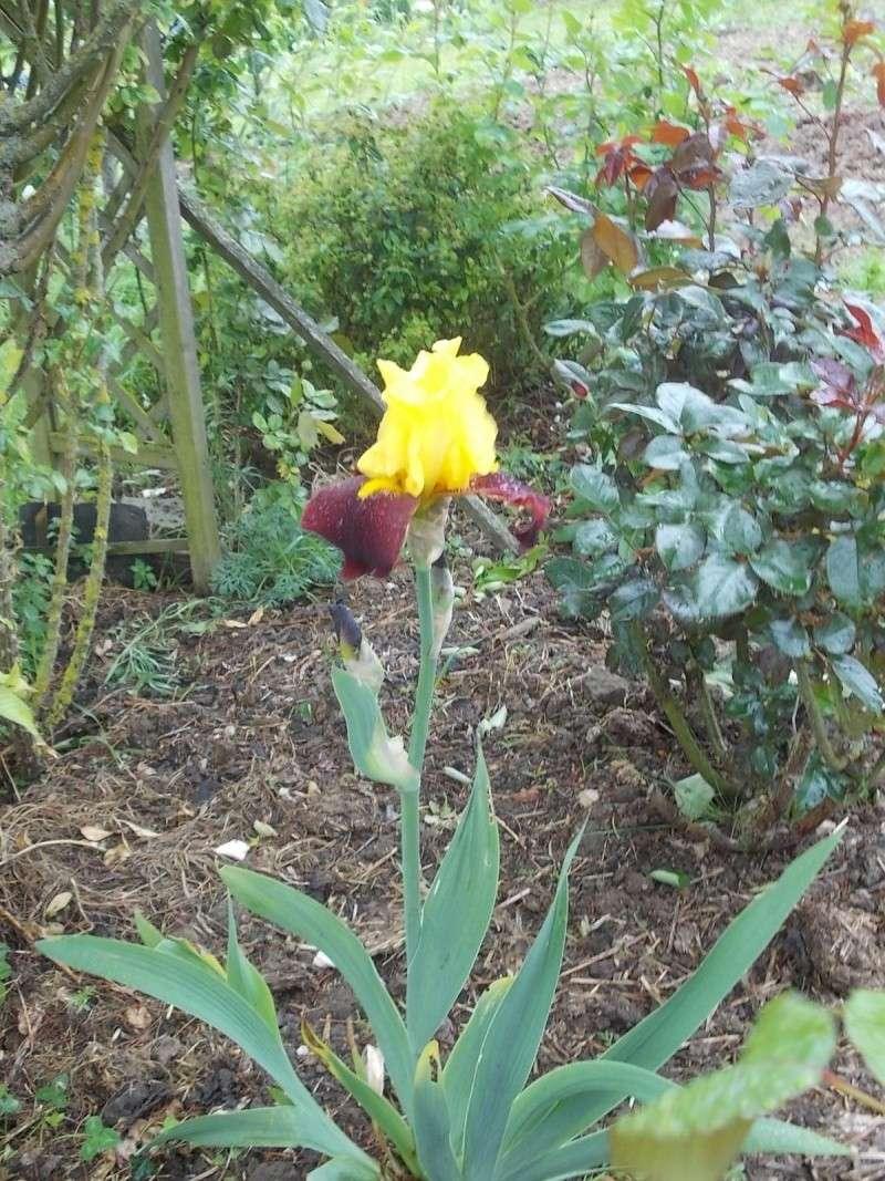 Iris : floraison 2014 - Page 5 Dscn0927