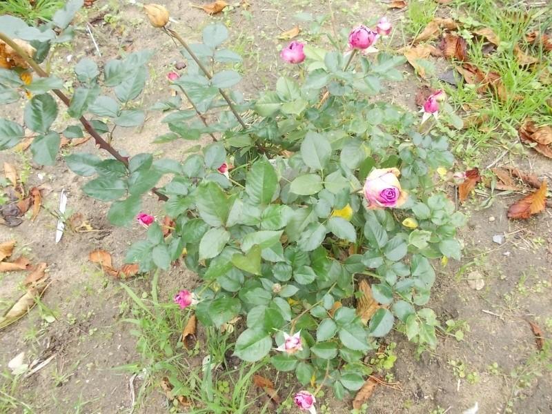 Roses de nos jardins Dscn3231